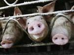 swine-flu2