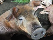 swine-flu7