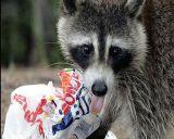raccoon-roundworm