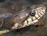 israeli-snake
