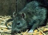 rat-island