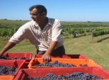 israel-wine-harvesting-grapes