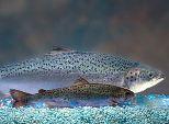 salmon-fish
