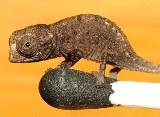 chameleons-reptile
