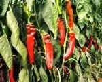 peppers-israel