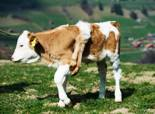 six-legged-calf