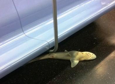shark nyc