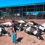cows-dead-israel