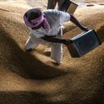 india wheat grain