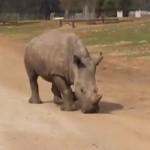 tblisi-rhino