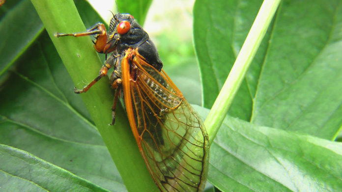 Millions Of Cicadas To Emerge On The East Coast From 17 Year Slumber 1